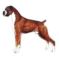 Typical Boxer Male - uncropped drawing adapted drawing of a Boxer from JKC Illustrated Breed Standards